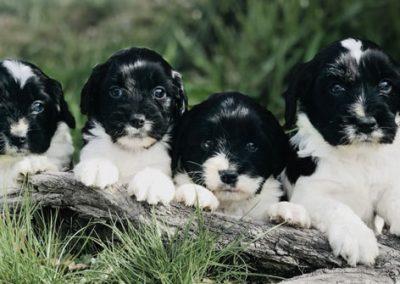 SS_Puppies_BlackandWhite